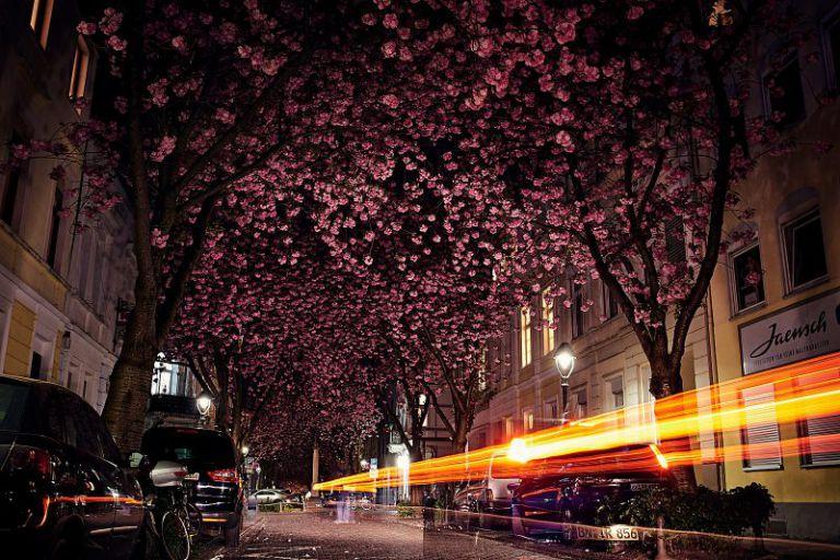 Lichtspur unter Kirschblüten in Bonn.
