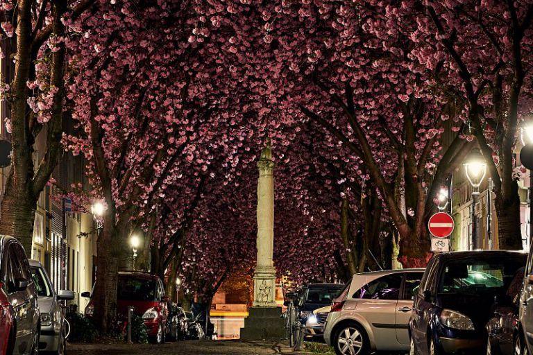 Die Heerstraße mit Kirschblüten.