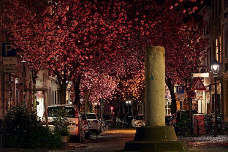 Kirschblüten an der Heerstraße
