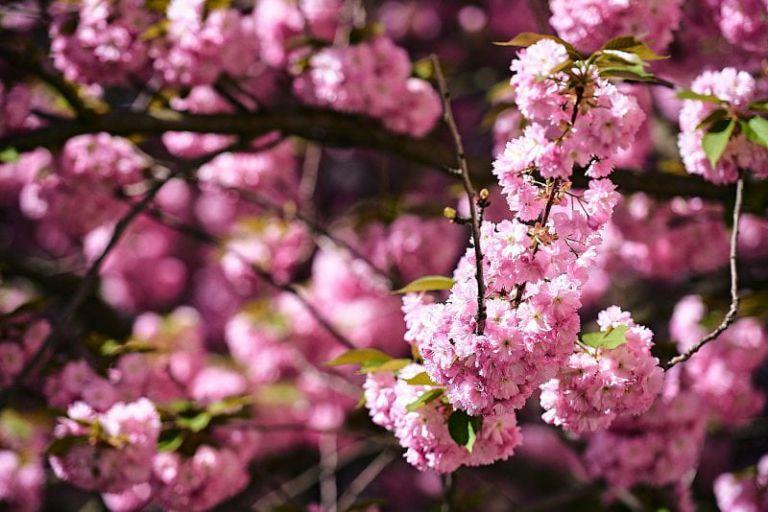 Kirschblüten Nahaufnahme.