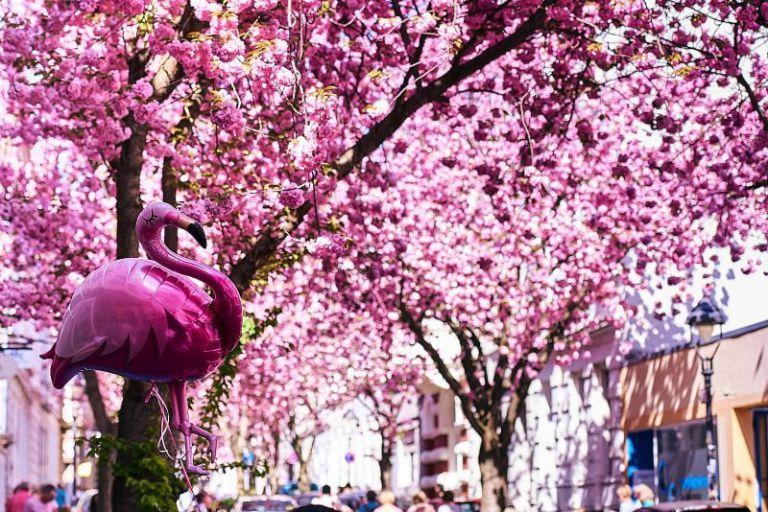 Ein rosa Flamingo vor Kirschblüten.